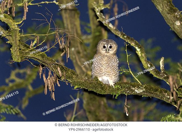 Tawny owl (Strix aluco), young perched on branch at night, Trier, Rhineland-Palatinate, Germany