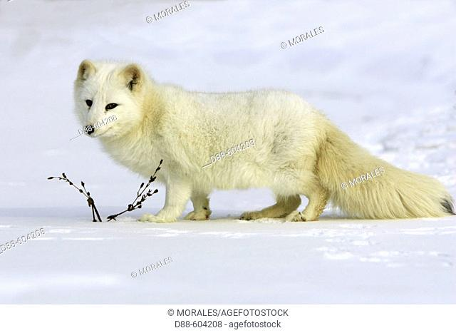 Artic fox (Alopex lagopus)