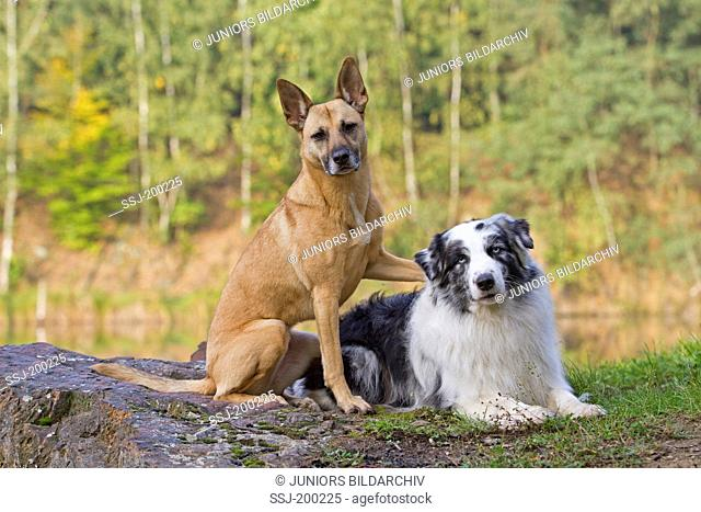 Mixed-breed dog and Australian Shepherd next to a pond in a forest. Germany