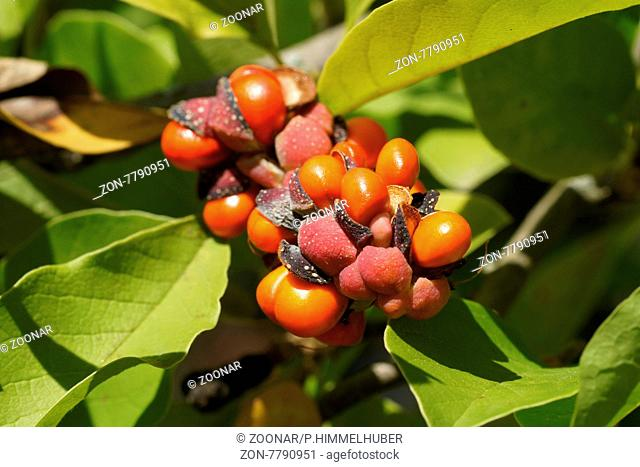Magnolia x loebneri, Magnolie, Frucht