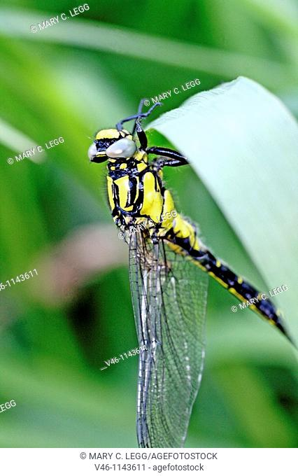 Emerging Common Clubtail, Gomphus vulgatissimus clings to marsh grass after emerging Male Eyes are still grey and not fully formed Before first flight Wing...