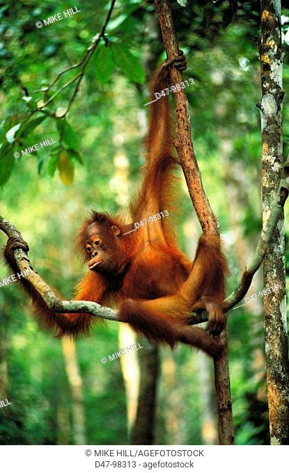 Bornean Orangutan (Pongo pygmaeus) in tree. Borneo