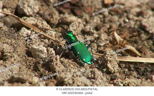 A Six-spotted Tiger Beetle (Cicindela sexguttata) stands and moves on the ground in spring
