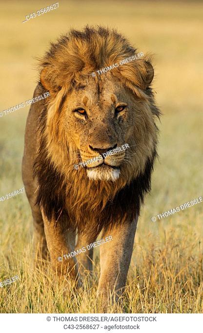 Lion (Panthera leo) - Male, walking. Savuti, Chobe National Park, Botswana