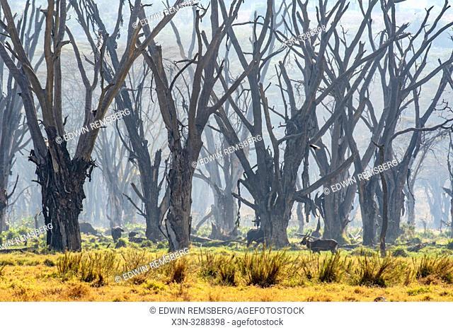 Trees with peeling bark fill the forest in Lake Nakuru National Park, Kenya
