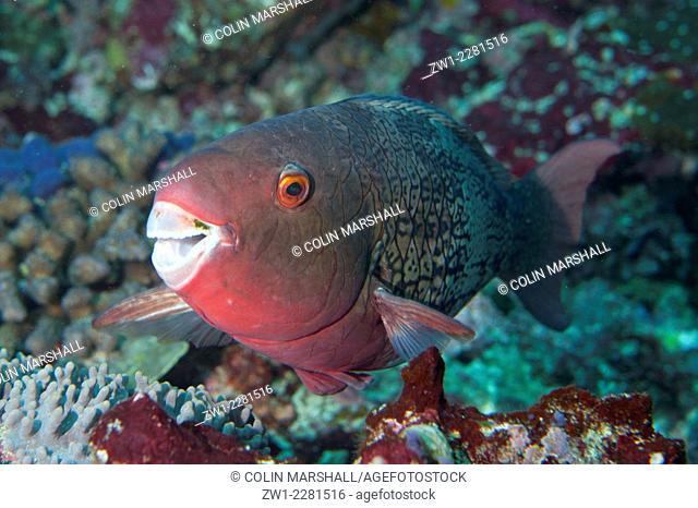 Ember Parrotfish (Scarus rubroviolaceus), Manta Alley dive site, Padar Island, Komodo National Park, Indonesia