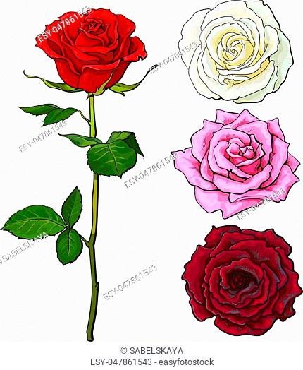 Pink, white, deep red open rose bud and flower with green leaves, sketch style vector illustration isolated on white background
