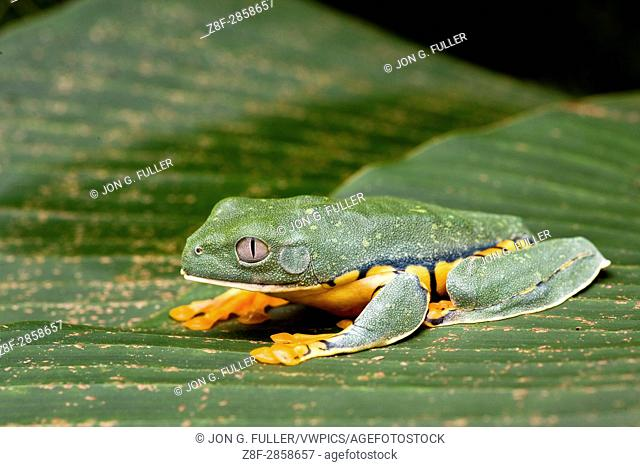 Splendid Leaf Frog, Agalychnis calcarifer, is a nocturnal tree frog found in tropical rainforests from Nicaragua to Columbia and Ecuador