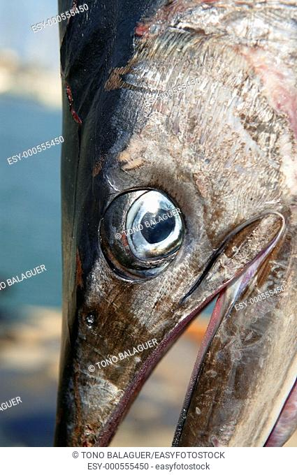 mediterranean spearfish billfish head tetrapturus belone marlin