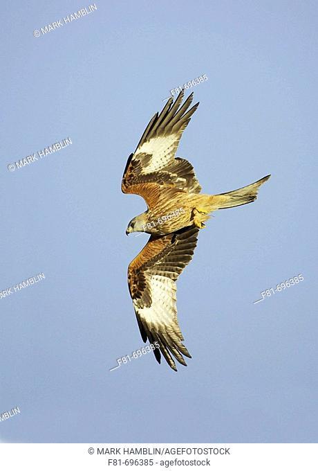 Red kite Milvus milvus adult in flight  Wales  UK  Jabuary 2007