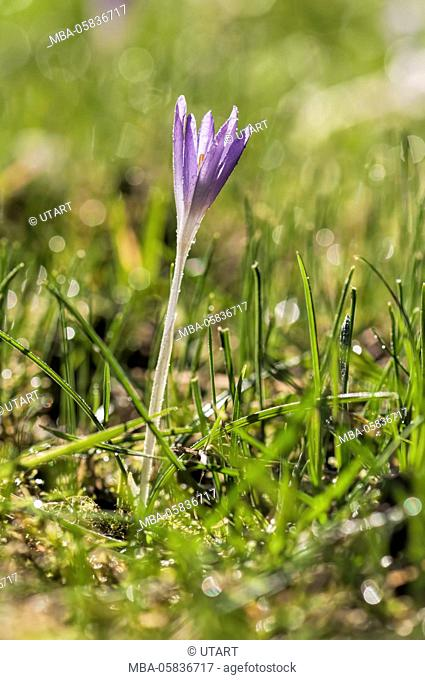 smaller mauve crocus in meadow, close-up, in the morning, blossom with drop of water glitter in the light