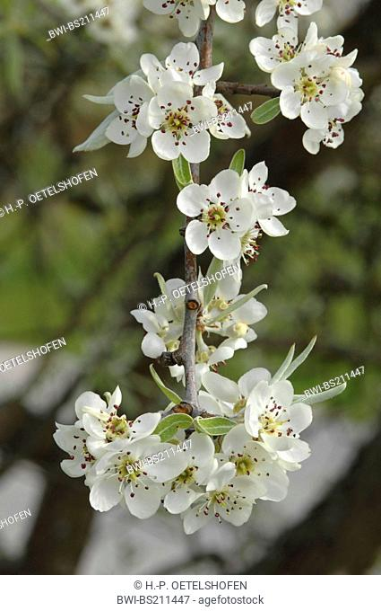 Willow Leafed Pear (Pyrus salicifolia), blooming