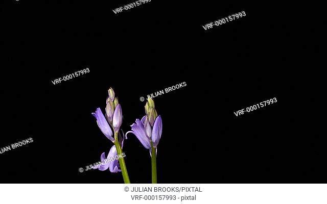 Two woodland bluebells flowering, time lapse