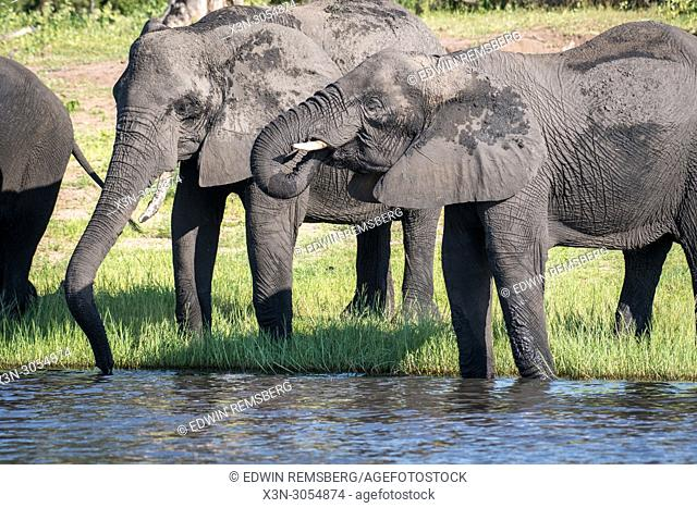 A group of elephants use their long trunks to take a drink from the Chobe River. Chobe National Park - Botswana