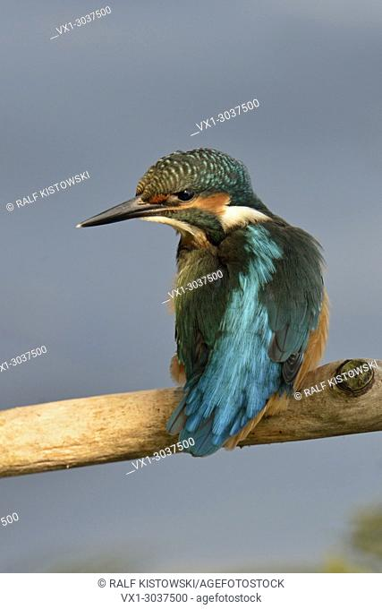 Common Kingfisher / Eisvogel ( Alcedo atthis ), perched on a branch over the water in nice spot of light, watches aside, backside view, colourful plumage