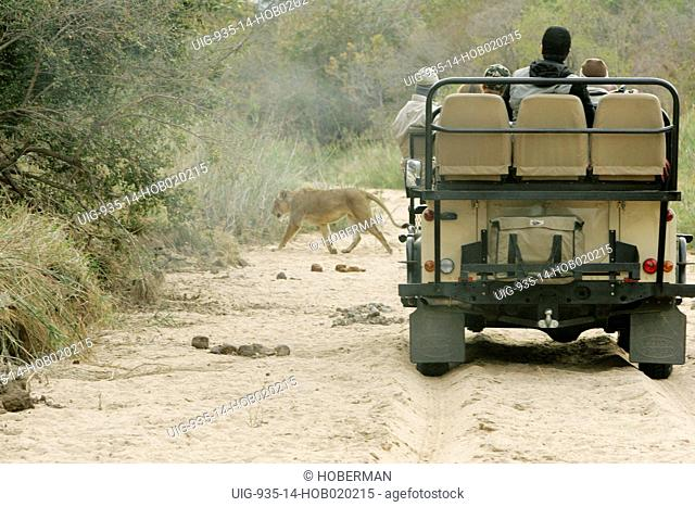 Tourists viewing Lioness, Ulusaba Private Game Lodge, Kruger National Park, South Africa, Africa