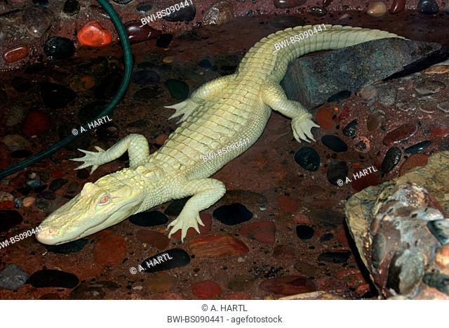 American alligator (Alligator mississippiensis), white alligator, albino