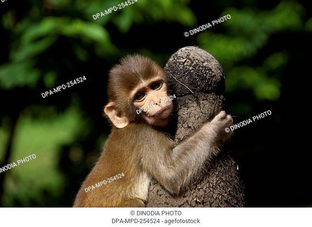 Monkey, maharashtra, india, asia