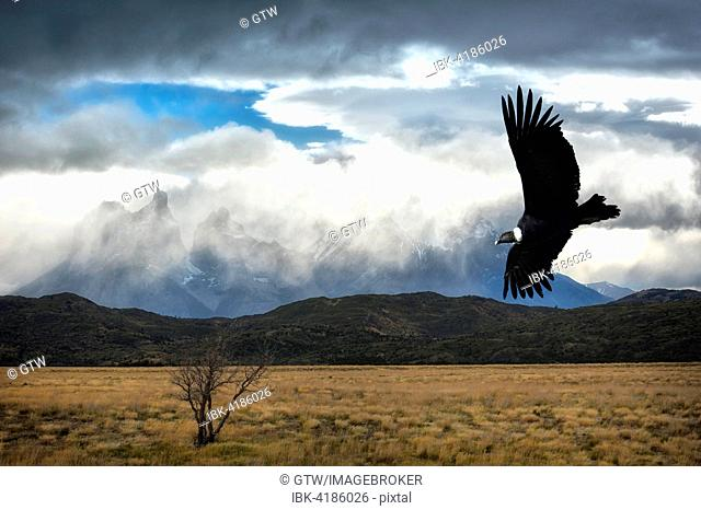 Flying Andean Condor (Vultur gryphus), Torres del Paine National Park, Chilean Patagonia, Chile