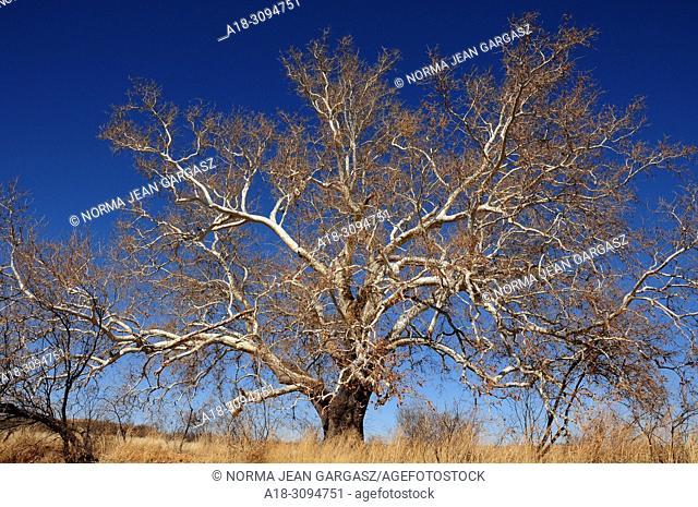 A sycamore tree grows along Gardner Canyon Road, Sonoita, Arizona, USA