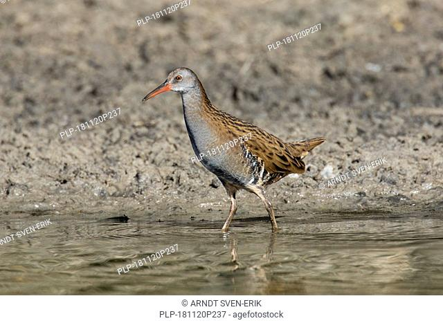 Water rail (Rallus aquaticus) foraging in shallow water in wetland / marsh / marshland