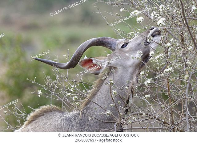 Greater kudu (Tragelaphus strepsiceros), adult male feeding on flowers, Kruger National Park, South Africa, Africa