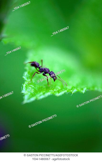Bullet Ant Paraponera clavata, in the forest, Costa Rica