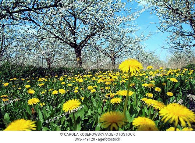 D, Germany, Brandenburg, Werder a d  Havel, Blossoming, Blossom, Spring, Bloom, Blooming, Botany, Crop, Crops, Meadow, Flower, Flowers, Dandelion, Landscape