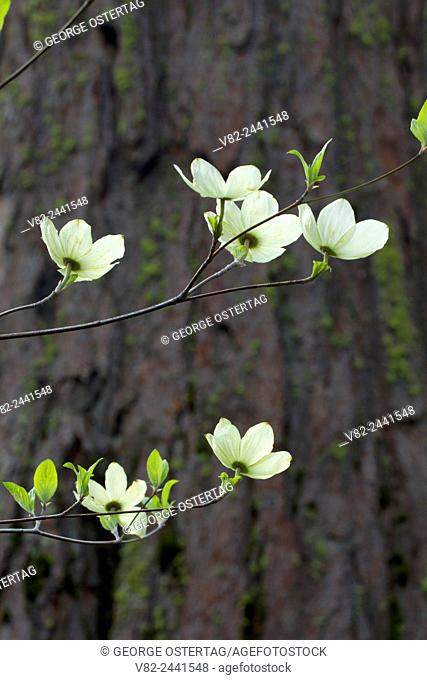 Pacific dogwood, Calaveras Big Trees State Park, Ebbetts Pass National Scenic Byway, California
