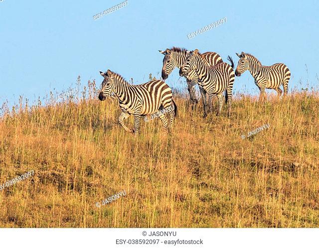 Zebras in the Lake Nakuru National Park in Kenya, Africa