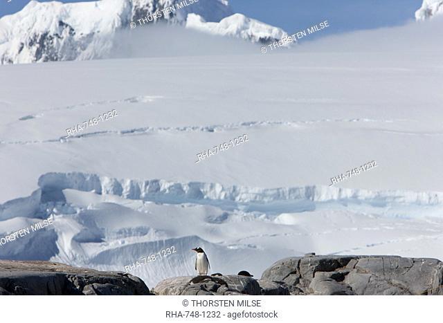 Gentoo penguin Pygoscelis papua papua, Port Lockroy, Antarctic Peninsula, Antarctica, Polar Regions