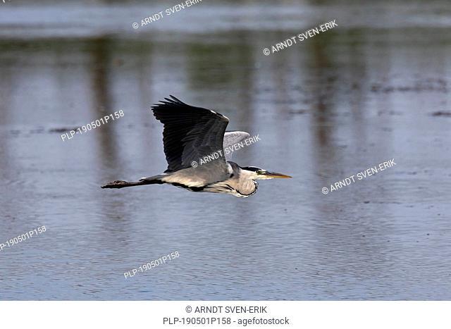 Grey heron (Ardea cinerea) in flight over water of lake / pond / river
