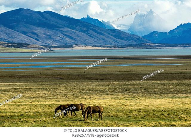caballos en la pampa cercana al lago Roca, republica Argentina,Patagonia, cono sur, South America