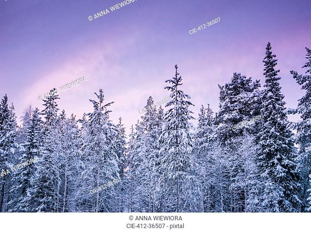 Tall, snow covered forest trees against purple winter sky, Lapland, Finland