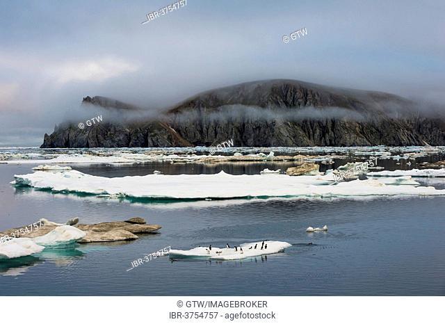 Thick-billed Murres or Bruennich's Guillemots (Uria lomvia) on ice floes off Wrangel Island, UNESCO World Heritage Site, Wrangel Island