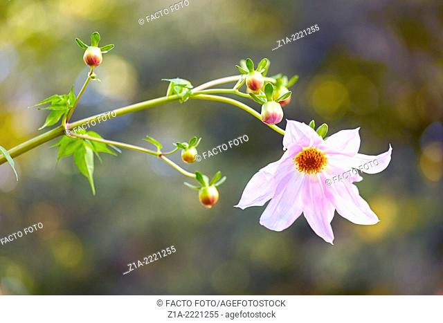 Dahlia imperialis at the Royal Botanical Garden. Madrid. Spain