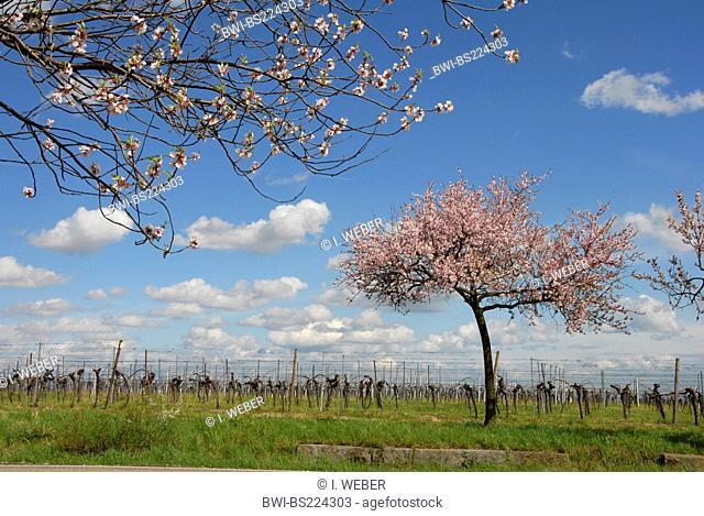 bitter almond (Prunus amygdalus), bloomin almond tree on a vineyard near Gimmeldingen, Germany, Rhineland-Palatinate, Palatinate, German Wine Route