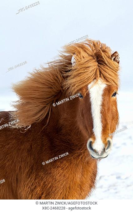 Icelandic Horse during winter in Iceland with typical winter coat. This traditional icelandic breed traces its origin back to the horses of the viking settlers...