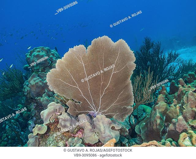 gorgonia flabellum venezuela - los roques