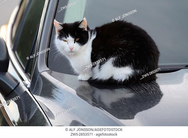 Cat lying on a warm car hood in Scania, Sweden