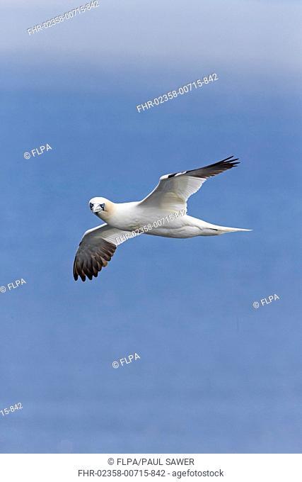 Northern Gannet (Morus bassanus) adult, in flight over sea, Shetland Islands, Scotland, June