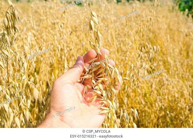 oats closeup in hand over field