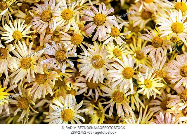 Czech Republic, Chrysanthemum Mary stoker, yellow, autumn colors