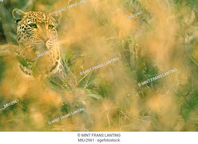 Leopard in dense brush, Panthera pardus, Namibia