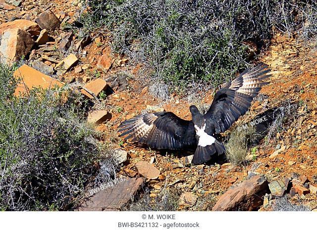 verreaux's eagle (Aquila verreauxii), flying in a ravine, South Africa, Western Cape, Karoo National Park