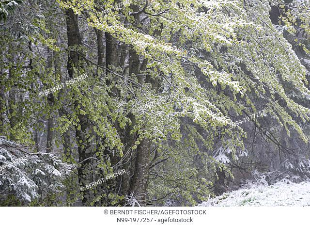 Vosges, backwinter in the mountain forest, snow-covered green leaves of beeches, Alsace, France