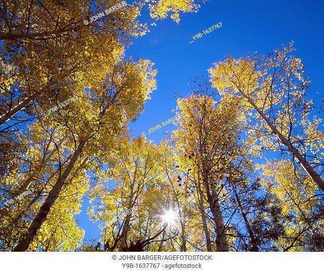 Sun bursts through autumn colored grove of quaking aspen, North Rim, Grand Canyon National Park, Arizona, USA