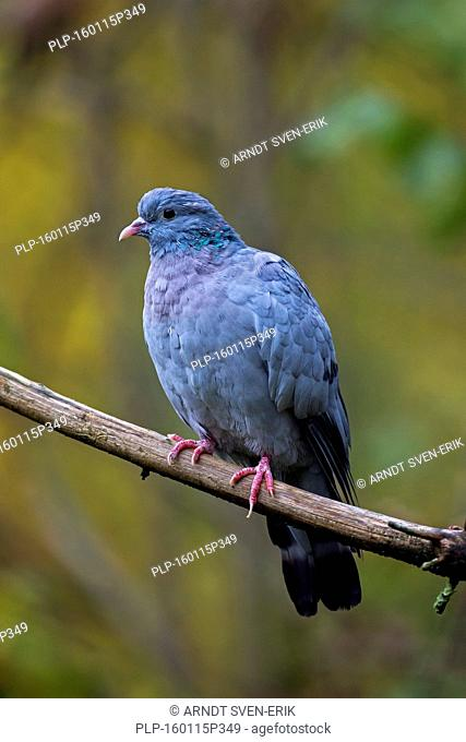 Stock dove (Columba oenas) perched on branch in tree