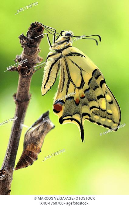 Newly hatched swallowtail butterfly Papilio machaon