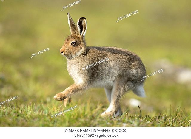Mountain Hare (Lepus timidus) adult in spring coat running across moorland
